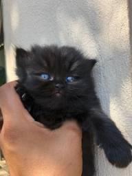 Filhotes de gato persa Olhos Azuis