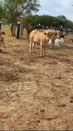Venda permanente de gado.  Pra cria recria e engorda