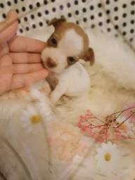Dia das mães chegando mini chihuahua