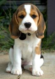 Beagle femea disponivel liiiinda