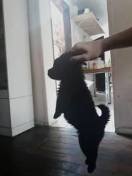 Chowchow pedigree puro 2 meses
