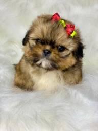 Shih tzu mini linda com pedigree