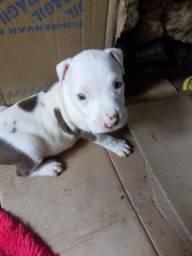 Filhote de pitbull macho olho azul