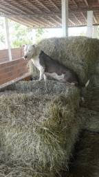 Filhote Pit Bull com 4 meses