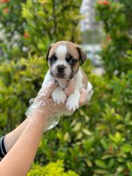 Bulldog Francês (11)9*5600-5535 para mais infos