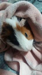 Porquinho da índia para doação (5 meses)