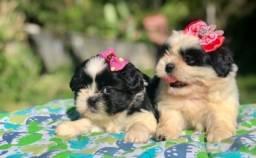 Fofurinhas de Filhotes Shih tzu mini Com Pedigree