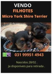 Micro York Shire Terrier