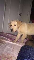 Labrador d 3 meses