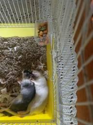 Gerbils adultas 2 fêmeas