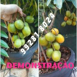 Vdo. Mudas mini frutífera somente de Cajamanga. Leia o anúncio.