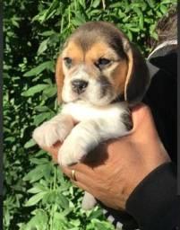 Beagle- fofuxos