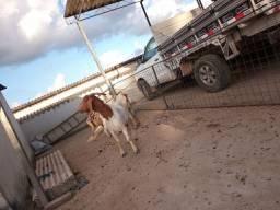 Cabras Boé registrada