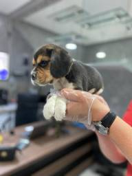 Lindos filhotes de Beagle Mini - Pedigree - Loja Física em SP