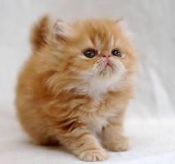 Filhotinhos de gato persa a venda