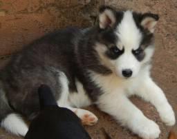 Husky com 50 dias vacinados