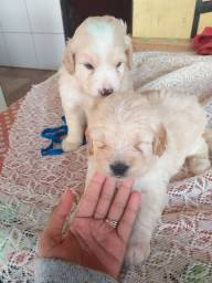Vendo dois cachorros rassa poodle filhotes