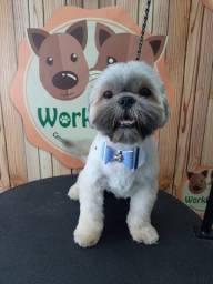 Cachorro Shih Tzu Macho 11 meses