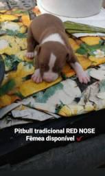 América Pit Bull Terrier