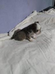 Chihuahua - pelo longo em promoção , aproveite!