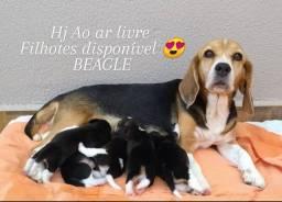Filhotes de Beagles americano e inglês para reserva entrar em contato