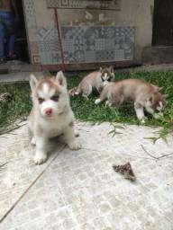 5 lindos filhotes de Huskies puros(macho e femea) vacinados e vermifugados