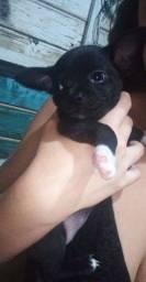 Chihuahua fêmea pelo curto
