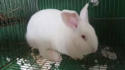 coelhos adultos em salvador e na ilha a  partir de