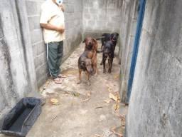 DOAÇÃO - Cães raça mestiço Rottweiler com média de 3,5 anos de idade