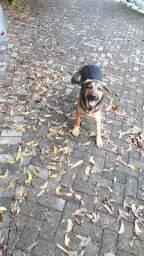 Cachorro Pastor Alemão com Labrador
