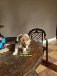 beagle filhotes femea