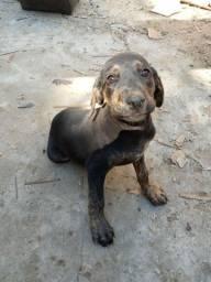 Cachorro Rottweiler com Fila