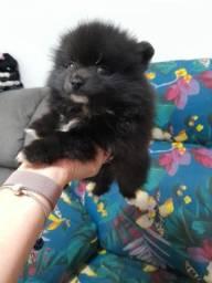 Belo filhote lulu macho