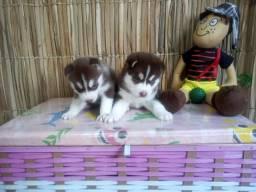 Husky Siberiano lindos com pedigree