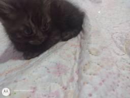 Filhote gato - mãe persa pai srs