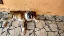 Vendo três femeas de Bulldog inglês com 5 meses