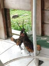 Casal de galinhas Sebright dourada