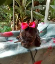 Linda fêmea yorkshire terrier disponível dia 30/11