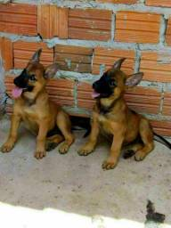 Cão de Gardar e Proteção
