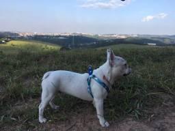 Bulldog macho a procura de uma namorada