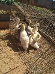 Patos Domésticos