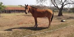 Cavalo manso de lida