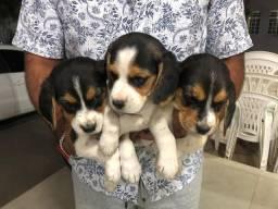 Beagle com pedigree e micro chip em até 18x