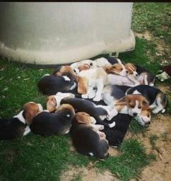Belíssimos Beagles,com pedigree de qualidade
