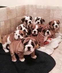 Bulldog Inglês filhotinhos entregamos na sua casa!