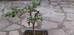 Vendo bonsai de jabuticaba ja frutificando 80 reais pra vender ligeiro meu zap *