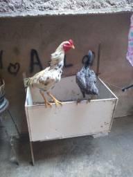 Vendo um casal um galo e uma galinha