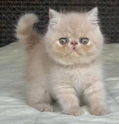 UM Show de Gato Persa macho Creme Exotico pelo curto extremado com 59 dias super lindo