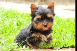Yorkshire Terrier tamanhos micro e padrão, machos e femeas, a pronta entrega,