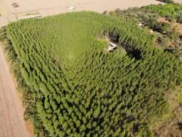 3 hectares de Eucalipto Urograndis GG100 6 anos